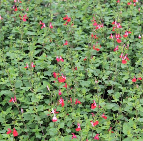 Salvia microphylla  Hot Lips x  3 Litre